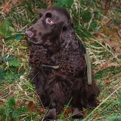 Dark Brown Field Spaniel Puppy