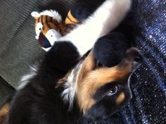 Love puppies - Tigger waits for the ref's call on Bodhi's 'Munch Hold.'