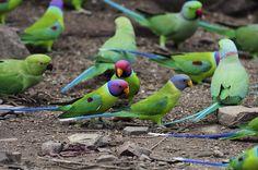 LOVE this species of parrot! Plum Headed Parakeets, India Also Indian Ringneck parakeets