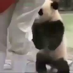 10 Facts About Pandas Niedlicher Panda, Panda Gif, Panda Funny, Panda Love, Cute Panda, The Animals, Video Panda, Cute Funny Animals, Cute Baby Animals