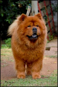 Chow Chows Puppy Fawn Smooth Chow Chow Pinterest