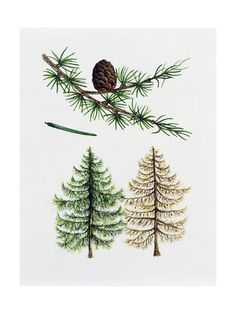 size: Giclee Print: European Larch (Larix Decidua), Pinaceae, Tree in Summer, Tree in Autumn, Leaves and Fruit : Larch Tree, Summer Trees, Tree Leaves, Tree Print, Foot Tattoos, Cactus Plants, Autumn Leaves, Find Art, Framed Artwork