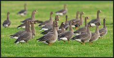 Kolgans (Van vroegevogels)