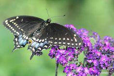 Papillons diurnes du Québec - Polyxenes, papillon du céleri