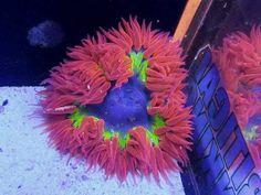 Rock Anemone ❤️ J Hearts Reef Aquarium, Saltwater Aquarium, Reef Tanks, Salt Water Fish, Nichijou, Underwater Creatures, Corals, Marine Life, Fish Tank