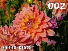 ; Cod soi - 002  Categorie - dinnerplate  Talie - foarte inalta  Floare - foarte mare  Pret - 10    Soi spornic si ca numar de flori simultane