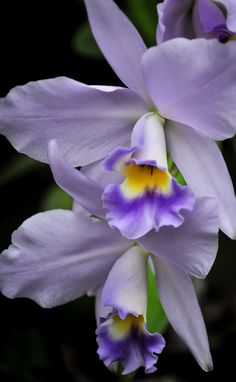 Orchid in lavender and purple on black background