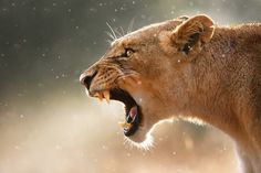 """""""Lioness In A Rainstorm"""" by Johan Swanepoel"""