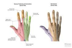 Sensation---Hand-Dorsal---IMG_6132.jpg 1,650×1,100 pixels