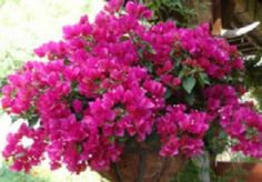 Great information on planting Bougainvillea and many other plants   in hanging baskets