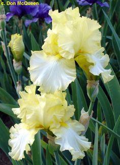 TB Iris germanica 'Pleated Gown' (Roderick, 1979)