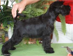 black miniature schnauzer