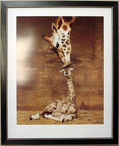 Framed Makulu Giraffe Baby Mother Giraffes Picture Framed Art by Tilliams,http://www.amazon.com/dp/B000Y16VEE/ref=cm_sw_r_pi_dp_NmODsb0KV102RHJB