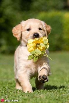 Golden Puppy With Flower.   ...........click here to find out more     http://googydog.com