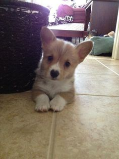 corgi with a heart nose!