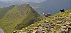 David Harrison found this intrepid par about to head across Striding Edge!
