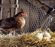 How to Maintain A Backyard Chicken Coop in the Summer Find out how to keep your chickens safe, and avoid smelly coops, in the stifling summe...