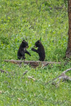 black bear cubs in Yellowstone - Black bear cubs wrestle play in Yellowstone National Park