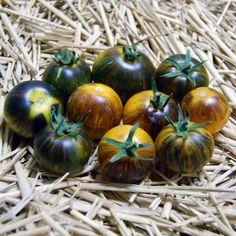 Blue Tomato Primary Colors ブルートマト・プライマリー・カラーズ
