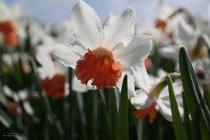 Narcis 'Charming Lady'