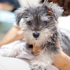 No denying that Addie is part schnauzer! Looks just like her when she was smaller