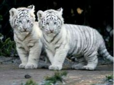 White baby tiger cubs
