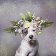 adoptable pit bulls show off a softer side for sophie gamand's flower power series