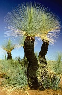ronbeckdesigns: Now called Grass Tree (were once known as Black Boys), Australia.  The black trunks are from fires that have burned over them in the past, burning off the leaves, but not killing the plant or growing tips.  The Nolinas in Mexico and southern USA occupy a similar niche and look.