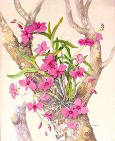 Cooktown Orchid (Vappodes phalaenopsis) Vera Scarth Johnson 1912 - 1999