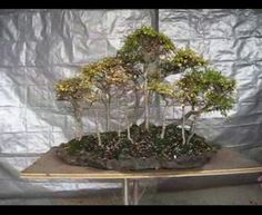 Elm Forest bonsai tutorial by Leong Kwong of Bonsai South