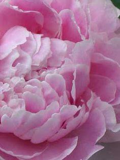 pink peonies are my favorite flower.