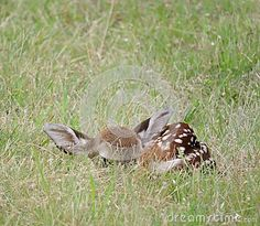 Small spotted baby fawn waiting in a grassy field for it's mother to return.