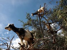 P4139167fs -    Goats tied to an argan tree!...