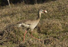 Foto seriema (Cariama cristata) por Fernando Cipriani | Wiki Aves - A Enciclopédia das Aves do Brasil