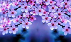 14 Best Bunga Sakura Images Cherry Blossom Flowers Beautiful