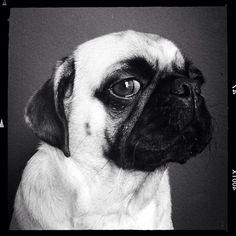 Disgruntled pug