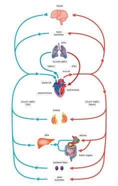 srdce oběh - Hledat Googlem Montessori, School, Projects