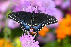 Black Swallowtail Butterfly photograph by:  Darrell Gulin