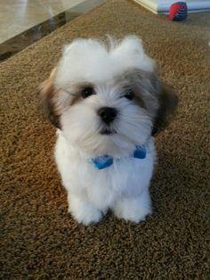 Malshi Puppy B-A-N-J-O, and Banjo is his Name-O!