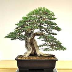 Francesco Santini, Seven Years Later | Bonsai Bark