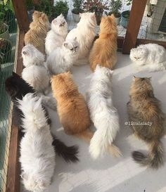 """The Japan-based owner of 12 fancy kitties, who proudly describes herself as a """"full-time cat mom"""" reveals what it's like to live with spoiled indoor chinchilla Persians and breaks all the cat lady stereotypes: ''I'm happy, so it doesn't really matter what other people think about me having this many cats''- the woman told Catster."""
