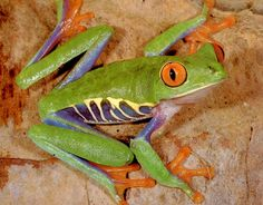 Isn't this frog so cool? The Colorful Frog Games For Toddlers, Toddler Activities, Spring Activities, Belize, Reptiles, Lizards, Red Eyed Tree Frog, Frog And Toad, Tree Frogs