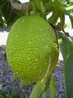 El árbol del pan o frutipan es una especie perteneciente al género de los Artocarpus, dentro de la tribu de las Artocarpeae, de la familia de las Moraceae con cientos de variedades de árboles.