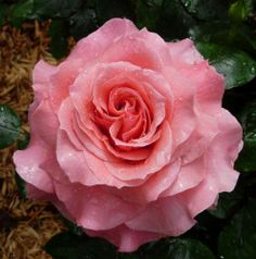 Die 68 Besten Bilder Von Rosen Roses Hybrid Tea Roses Und Roses