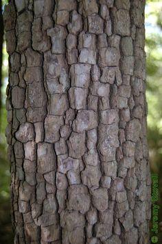Texture...Persimmon tree bark.