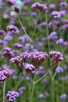 Verbena-bonariensis-Flowerona