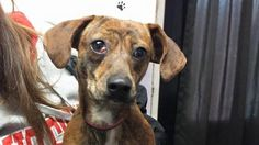 Meet Macy, a Petfinder adoptable Dachshund Dog | Waverly, OH | This dog is 2 years old, weighs 18 pounds and available for 4/25/2015This dog has been wormed for...