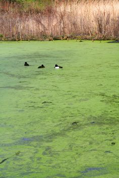 Cyanobacteria, or Blue-green Algae, is toxic to dogs and cats. Aggressive, immediate treatment is necessary to help treat this potentially fatal poison Toxic Plants For Cats, Cat Safe Plants, Pet Dogs, Dog Cat, Pets, Benadryl For Cats, Siberian Cats For Sale, Dog Died, Green Algae