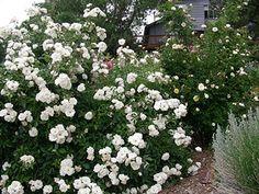 Huge Iceberg-rose-bush