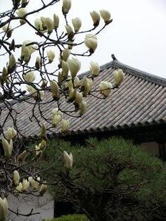 本堂と白木蓮5